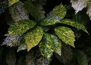 Aucuba japonic foliage