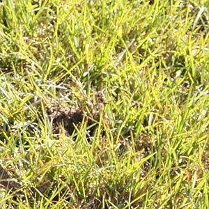 Australian Native Grass