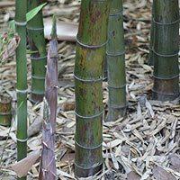 Bamboo Plants Varieties for sale online | Nurseries Online
