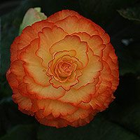 Red and Yellow Frilled Begonia Flower