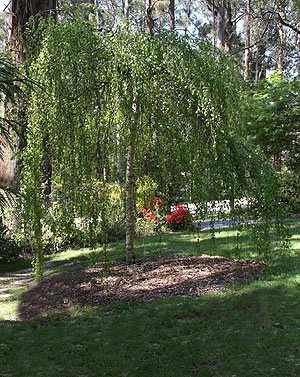 Betula Pendula youngii - Weeping Birch