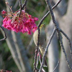 Bird Attracting Cherry Blossom