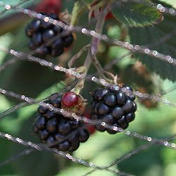 Blackberries-Thornless