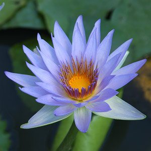 Blue Lotus - A Flowering Water Plant