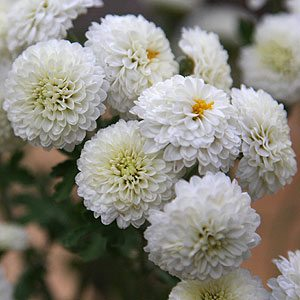 Button Chrysanthemum