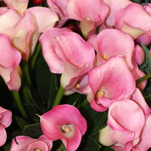 Zantedeschia  or 'Calla Lily' Flower