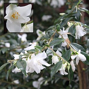 Camellia Wirlinga Bride