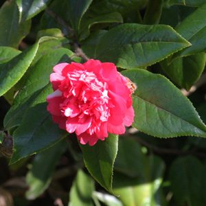 Camellia edithae