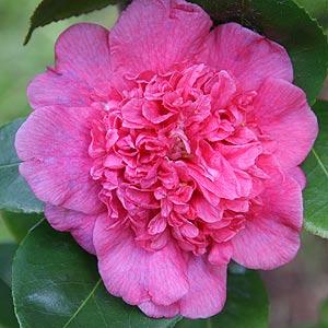 Camellia Dona Herzilia De Freitas Magalhaes