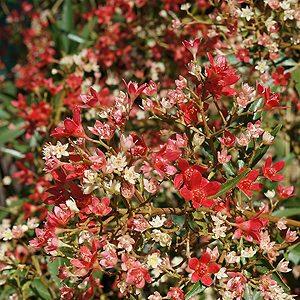 Ceratopetalum gummiferum Albery's Red