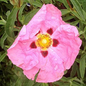Cistus - The Rock Rose