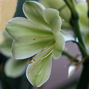 Green flowering Clivia miniata
