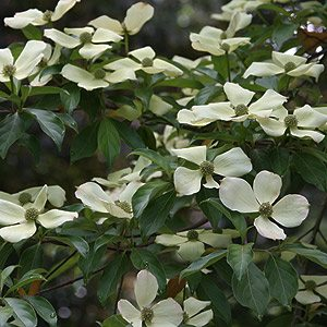 Cornus capitata the Evergreen Dogwood
