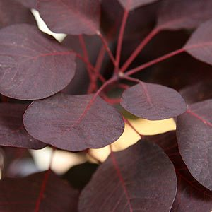 Cotinus coggygria  - The Smoke Bush
