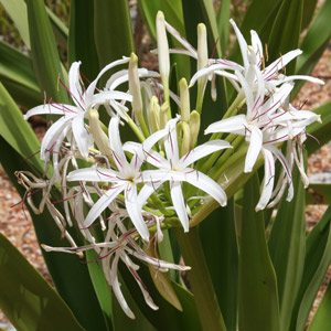 Crinum pedunculatum flower