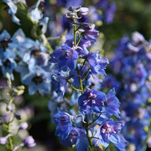 Blue Flowering Delphinium Plant