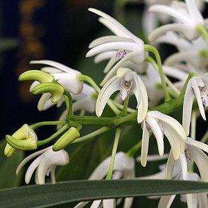 Dendrobium Speciosum - Australian Orchid