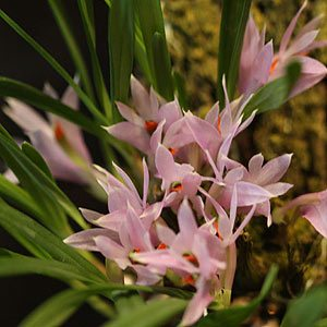 Dendrobium pentapterum