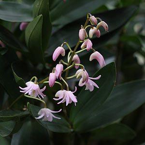 Dendrobium-x-delicatum