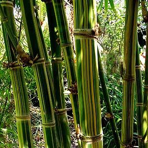 Dendrocalamus Maroochy or 'Maroochy Bamboo'