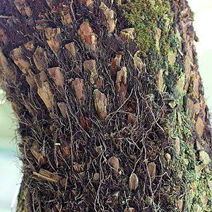 Dicksonia antarctica - Soft Tree Fern