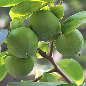 Diospryros kaki - The Chinese Persimmon Tree