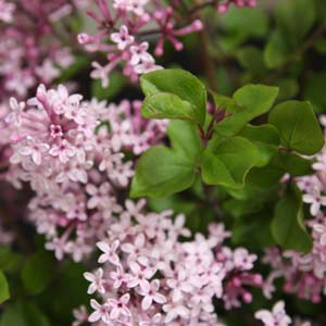 Lilac Plants And Trees Nurseries Online