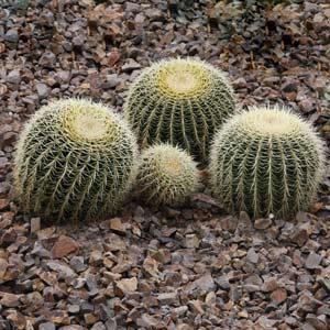 Echinocactus grusonii, Golden Barrel Cactus