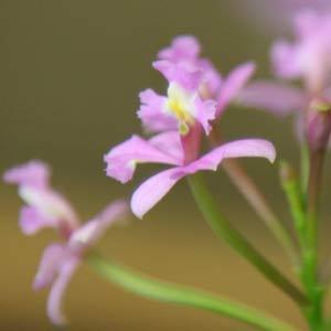 Epidendrum imatophyllum