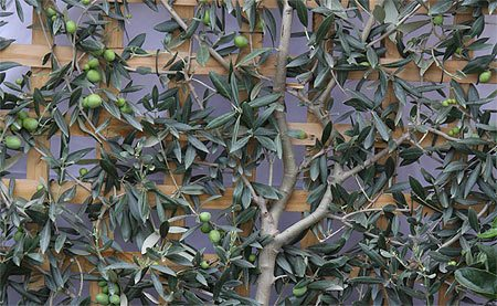 espalier fruit trees - olive