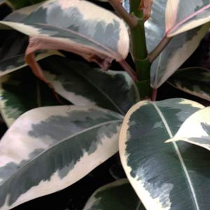 Ficus decora - The Rubber Tree