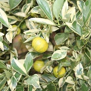 Fortunella japonica Variegata - Variegated-Cumquat tree