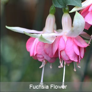 Fuchsia Plant in Flower