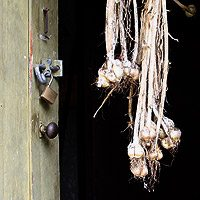 Garlic drying in the garden shed