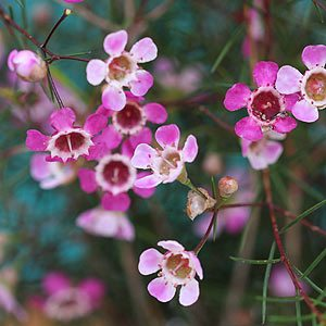 Geraldton Wax Flower