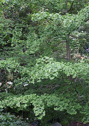 Ginkgo Biloba Tree The Maidenhair Tree Nurseries Online
