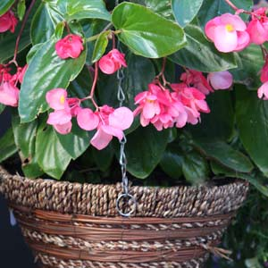 Begonia in Hanging Basket a great idea