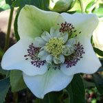Hellebore White with Pink