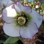 Hellebore white with pink margins