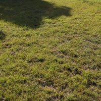 Native Australian Grass - hemarthria uncinata