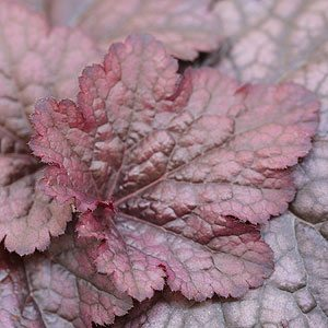 Heuchera plant with red foliage