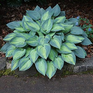 Hosta Plants Nurseries Online