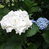 White Hydrangea flowers willalways be white, it is the blue and pink that can be changed