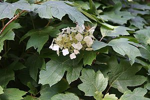Hydrangea quercifolia 'Oak Leaf Hydrangea'