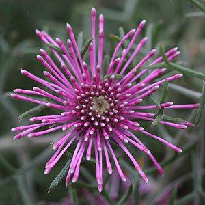Isopogon latifolius - Candy Cane Isopogon