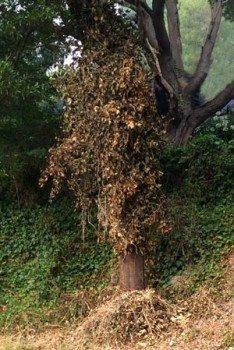 Ivy control - cut and spray