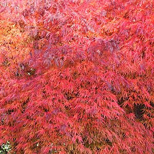 Japanese Maple with brilliant red Autumn Foliage