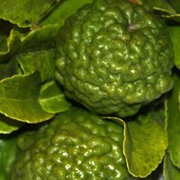 Kaffir Lime Tree Fruit and Leaves