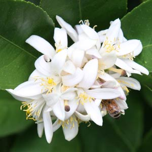Meyer Lemon Tree in Flower