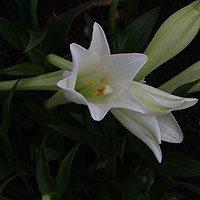 Lilium Longiflorum Easter Lily